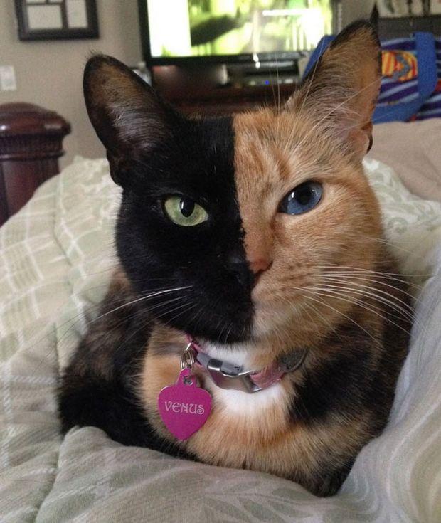 Cat Venus -10