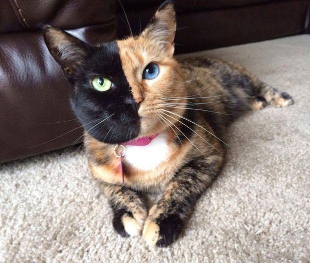 Cat Venus -5