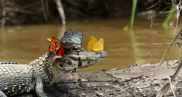 Кайман в венке из бабочек