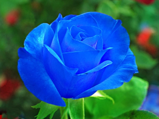 Синие розы-1