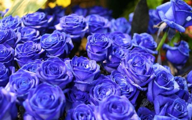 Синие розы-2