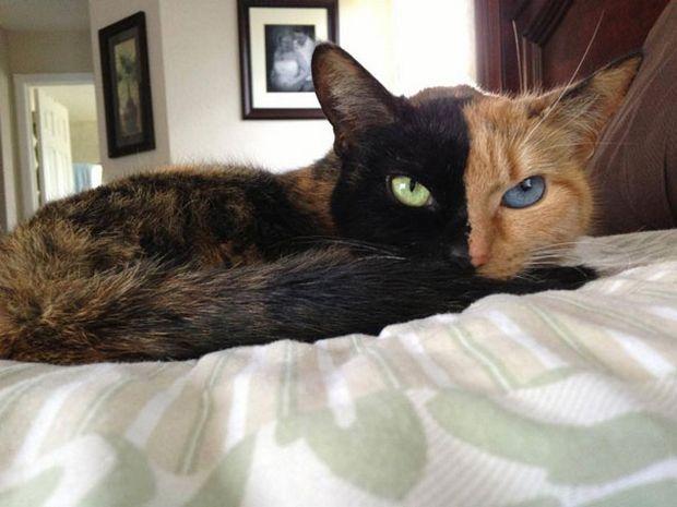 Cat Venus -2