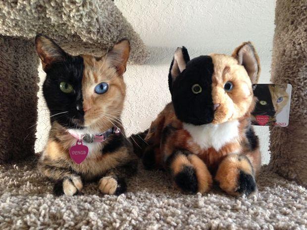 Cat Venus -7