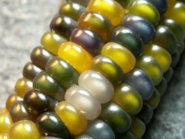 разноцветная кукуруза-10