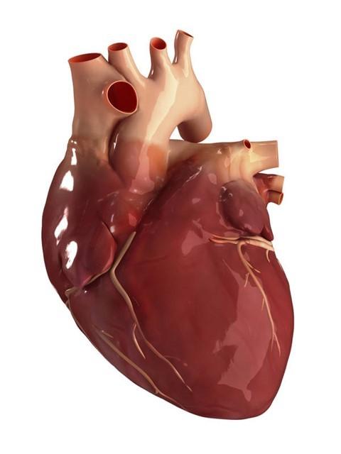 Человеческое сердце-2