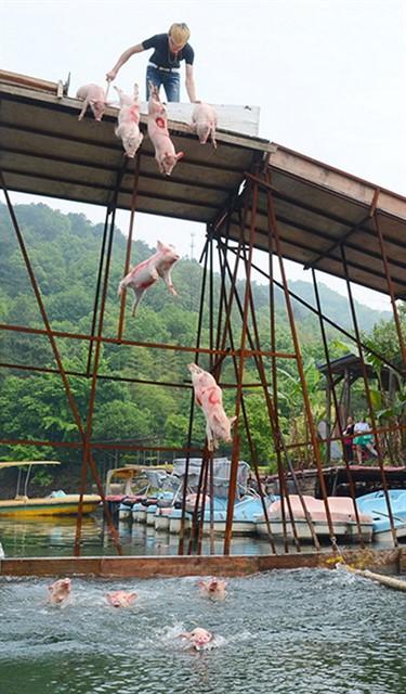 Заплыв свиней -1
