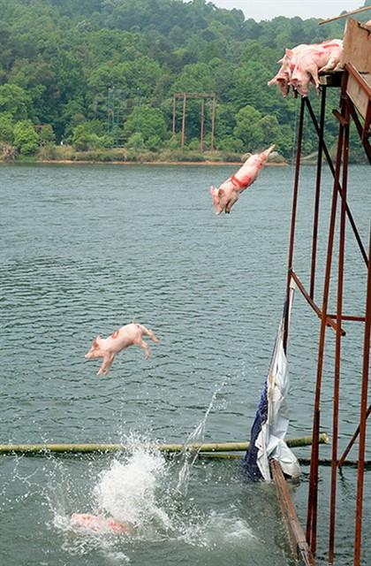 Заплыв свиней в Китае-2