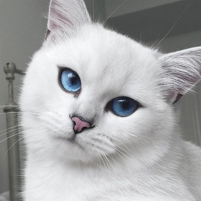 Кот с голубыми глазами-1