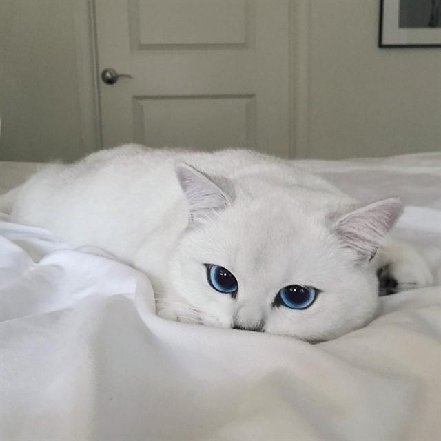 Кот с голубыми глазами-2