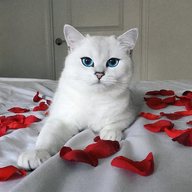 Кот с голубыми глазами-8