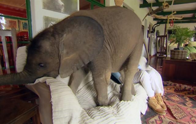 Спасенный слоненок по имени Мойо-3