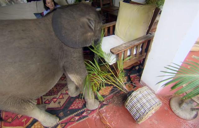 Спасенный слоненок по имени Мойо-4