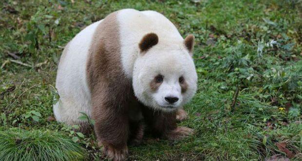 Самая большая панда