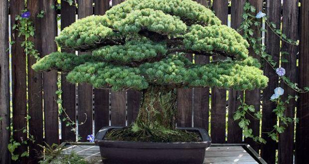 Самое древнее дерево Бонсай
