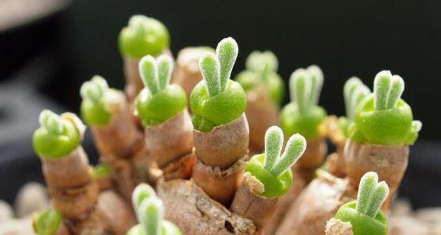 Милые суккуленты Monilaria Obconica в виде кроликов