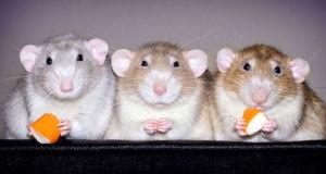 Милые фотографии домашних крыс фотографа Diane Özdamar