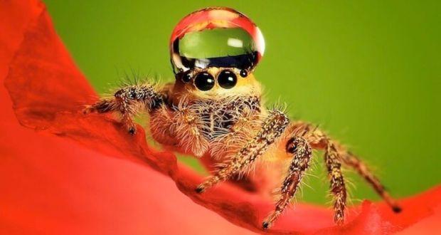 Макросъемка пауков от фотографа Уда Денни (Uda Dennie)