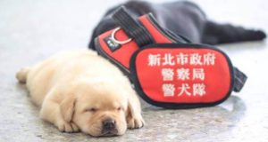 фотосессия щенков-новобранцев тайванской полиции
