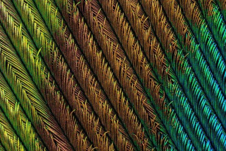 Макросъемка павлиньих перьев от фотографа Can Tunçer (Кан Тунсер)