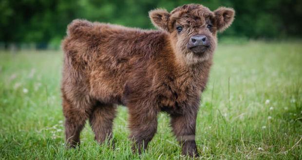 Телята породы Highland cattle или Хайленд