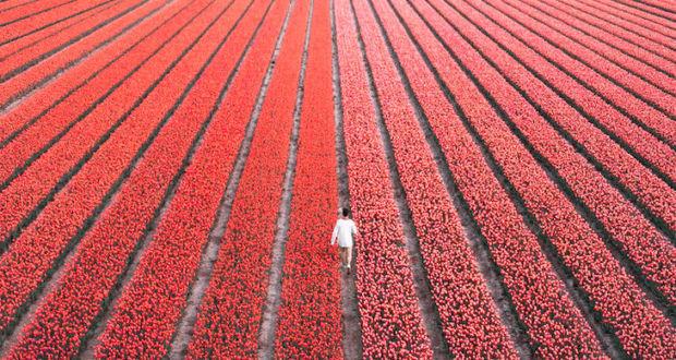 Голландские тюльпаны - сады Голландия